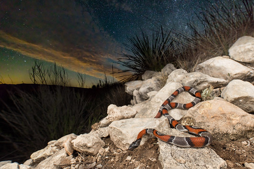 Lampropeltis alterna (Gray-banded Kingsnake) | by Kyle L.E.