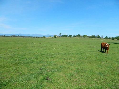 Happy Valley Cow