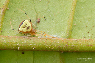 Comb-footed spider (Janula sp.) - DSC_9172