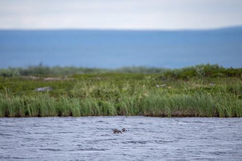 clangulahyemalis ducks havelle longtailedduck mountainhiking tana urraaláš view