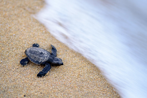 Olive Ridley turtle hatchling | by Roehan Rengadurai