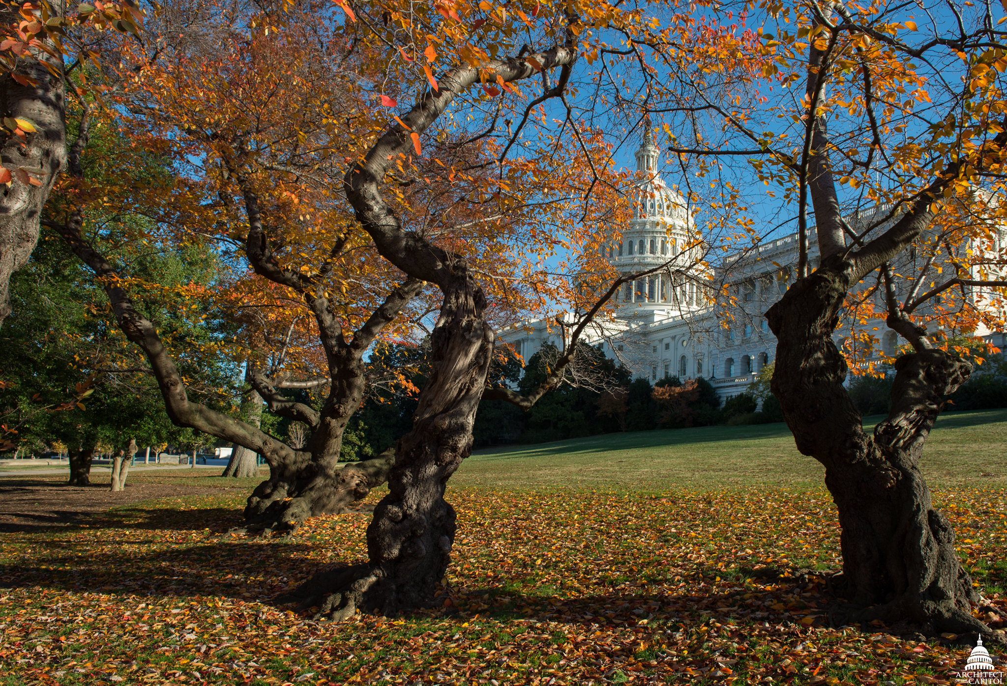 Cherry Trees on Capitol Grounds in Fall