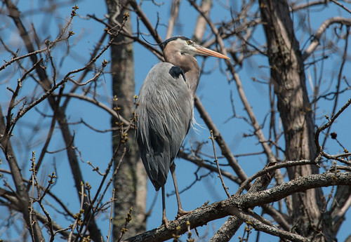 """Dad"" the Cornell Great Blue Heron"