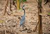 Black-headed Heron (Ardea melanocephala) by Sergey Pisarevskiy