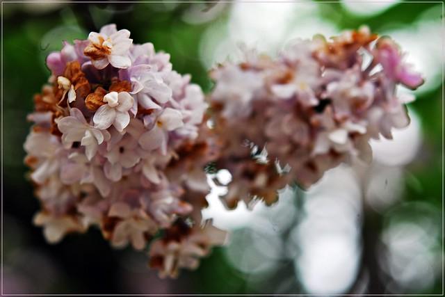 2 - Créteil Printemps humide mais fleuri Lilas, Impermanence