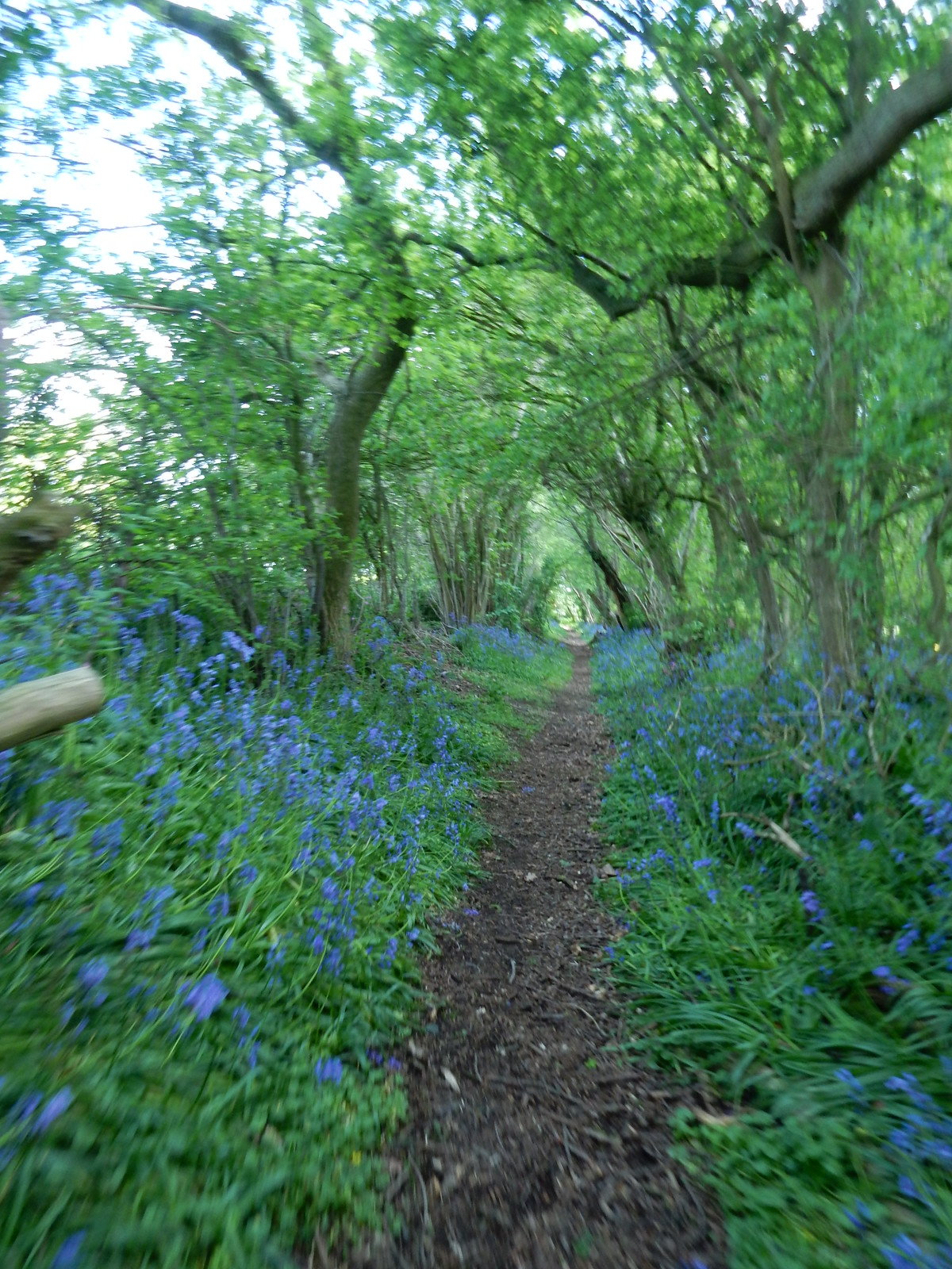 Bluebells Sutton Valence to Pluckley