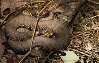 Cottonmouth | by cre8foru2009