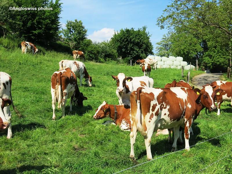 .Cows