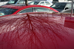 Tree Reflected in a Car's Roof