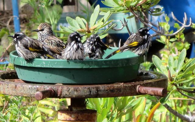 New Holland Honeyeaters and a Little Wattlebird?