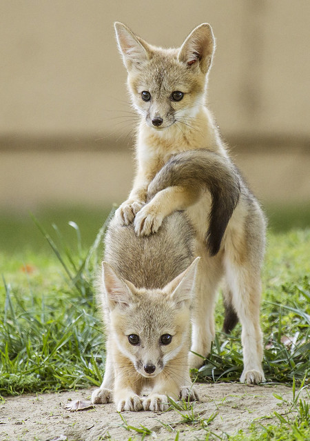 San Joaquin Kit Fox Kits Playing, Grown Up Posture