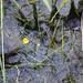 Flickr photo 'Utricularia gibba - Shortspur Creeping Bladderwort' by: Adam Arendell.