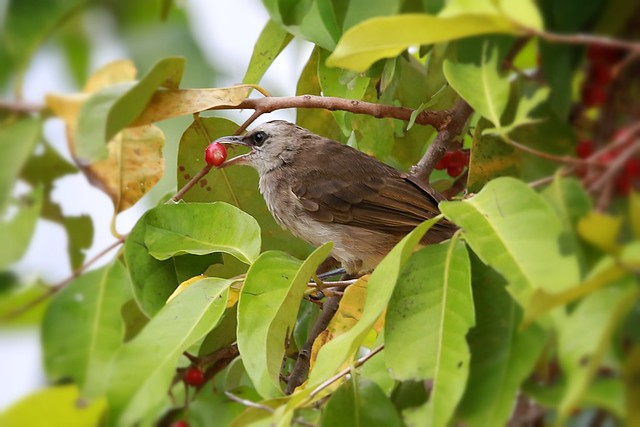 lovely, i'm having my berry.. bulbul