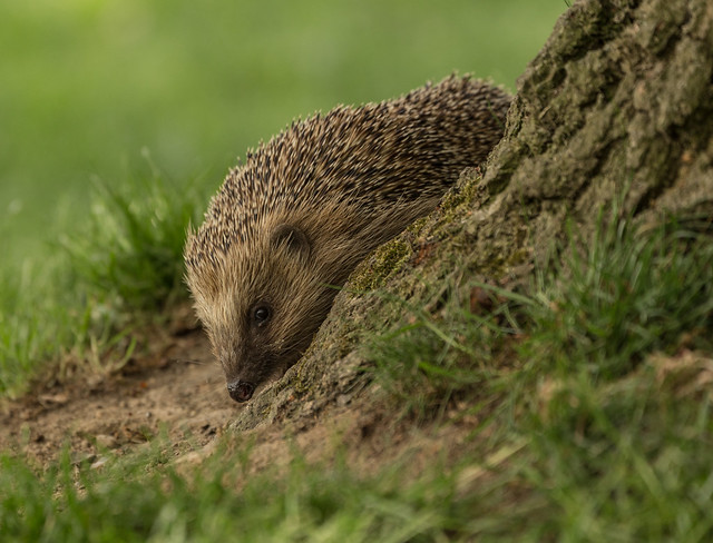 Hedgehog-7968LR