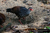 Ceylon Spurfowl (Galloperdix bicalcarata) by Dave 2x