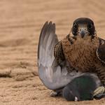 A falcon killed a pigeon.