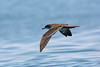Wedge-tailed Shearwater, offshore Puerto Angel, Oaxaca, Mexico by Terathopius