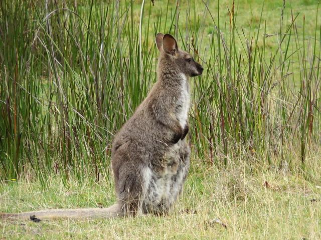 Bennett's Wallaby - Macropus rufogriseus