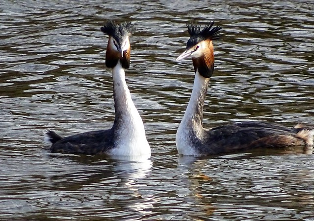 Crested Grebes, taken at Carr Mill Dam