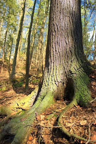 trees nature forest moss spring hiking pennsylvania roots creativecommons trunk ravine coniferous leaflitter hemlocks oldgrowthforest understory columbiacounty tsugacanadensis easternhemlocks weiserstateforest relictforest jakeyhollownaturalarea