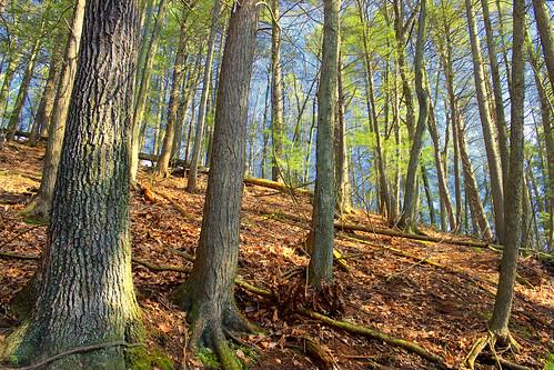trees nature forest spring hiking pennsylvania creativecommons ravine trunks slope coniferous whitepines hemlocks oldgrowthforest pinusstrobus columbiacounty tsugacanadensis easternhemlocks weiserstateforest easternwhitepines relictforest jakeyhollownaturalarea