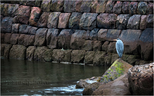 Grey Heron, Aberdeen Harbour