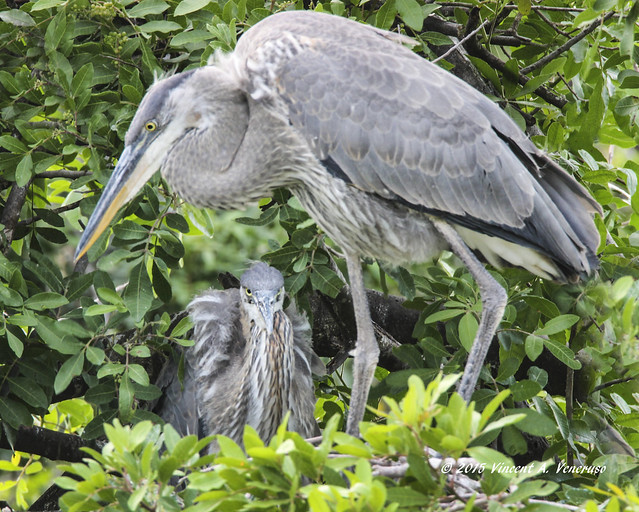 Great Blue Heron Mama and Chick