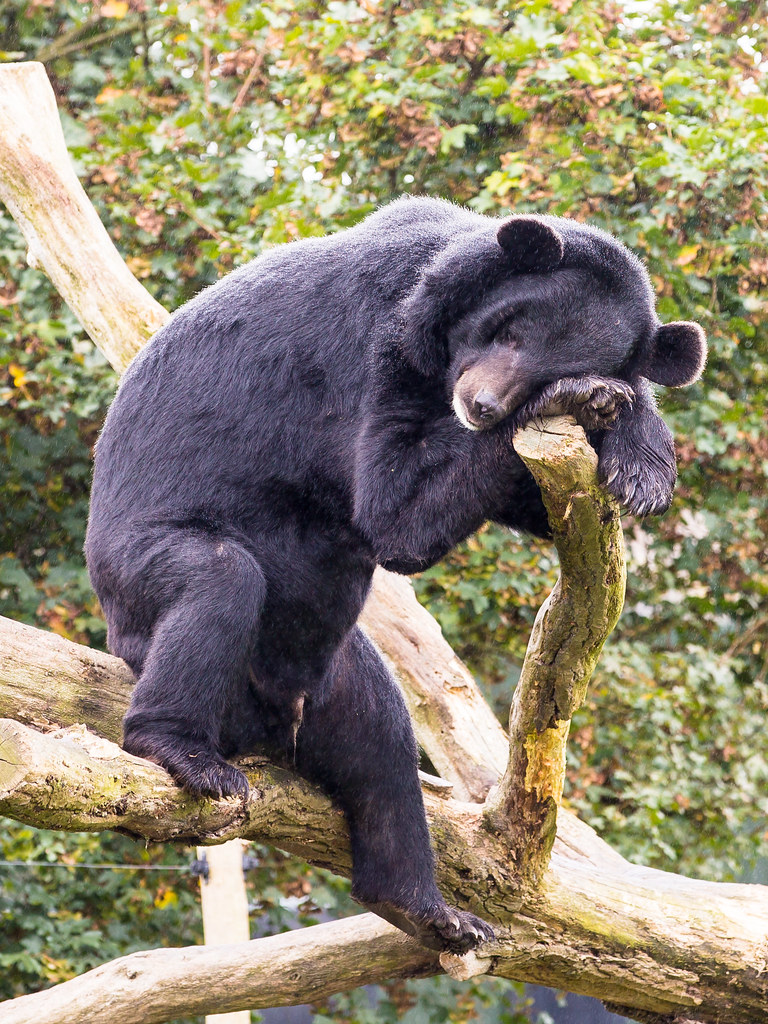 Image result for sleeping black bear in tree
