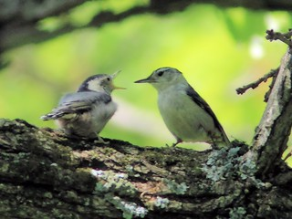 White-breasted Nuthatch fledgling begging 20150521 | by Kenneth Cole Schneider