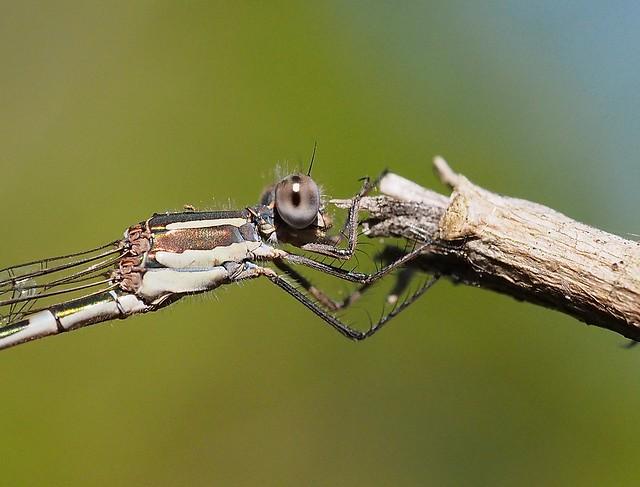 Damselfly on twig