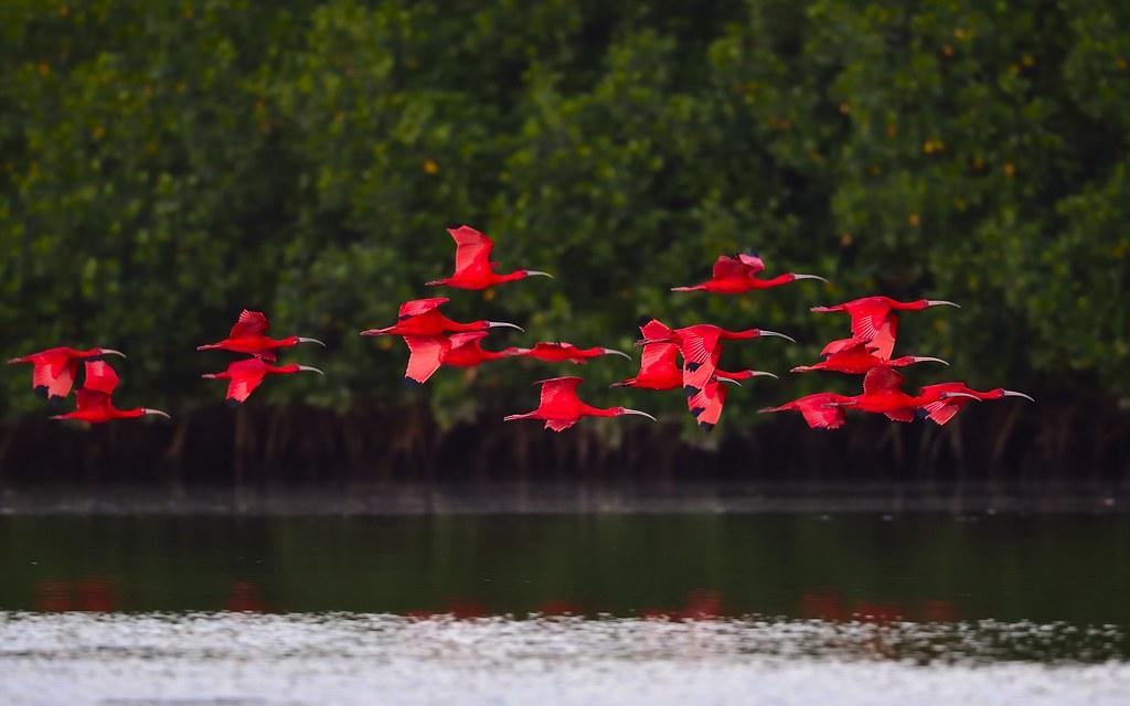 美洲红鹮  Eudocimus ruber