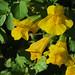 Flickr photo 'J20160721-0009—Erythranthe guttata—RPBG' by: John Rusk.