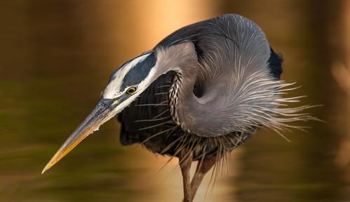 bird bondpark greatblueheron heron birds cary northcarolina