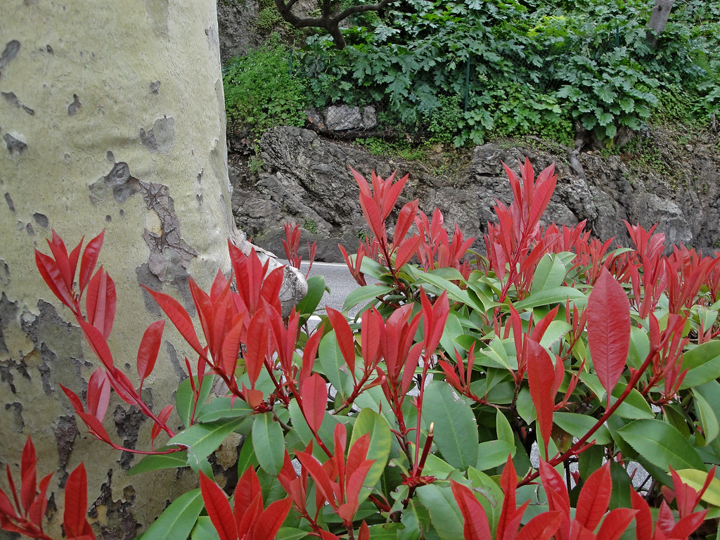 Pianta Foglie Rosse E Verdi foglie rosse e verdi | in primavera la photinia produce nuov