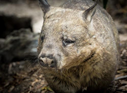 Southern Hairy Nosed Wombat (Lasiorhinus latifrons)   by Wade Tregaskis