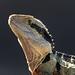 Image: Eastern Water Dragon