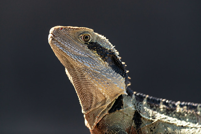 Previous: Eastern Water Dragon