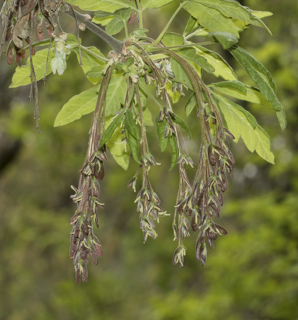 Acer Negundo Var Californicum Box Elder Female Flowers Flickr