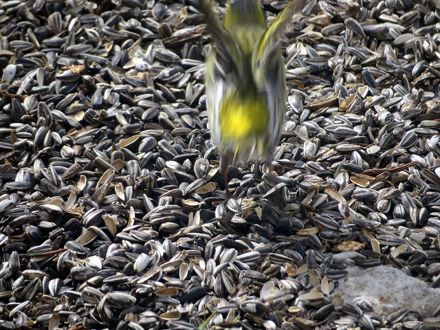 Siisike (Carduelis spinus)