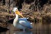 American White Pelican by jrp76