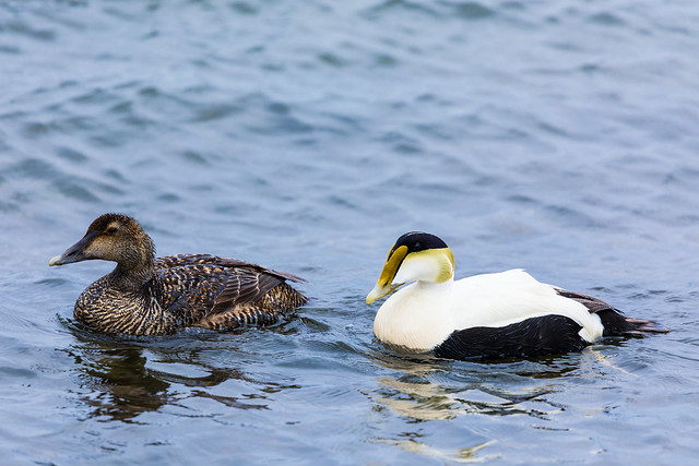 Common Eider (Female & Male)