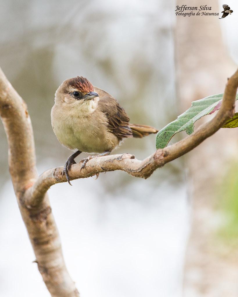 joão-de-pau - Rufous-fronted Thornbird / Phacellodomus rufifrons - Brasília - 27-05-18