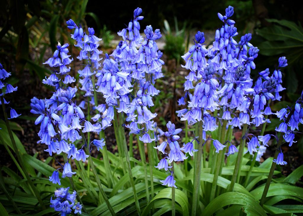 Bluebells
