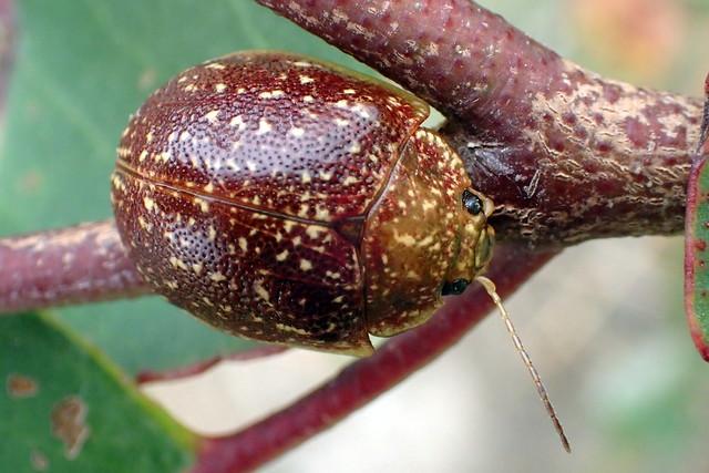 Leaf Beetle up close - Paropsis tasmanica