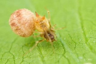 Three-horned comb-footed spider (Molione triacantha) - DSC_9758