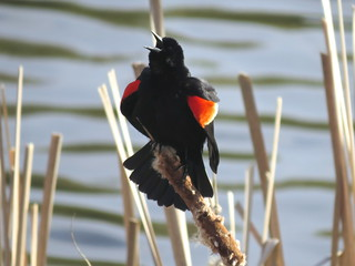 Red-winged Blackbird | by Justin L. Lee