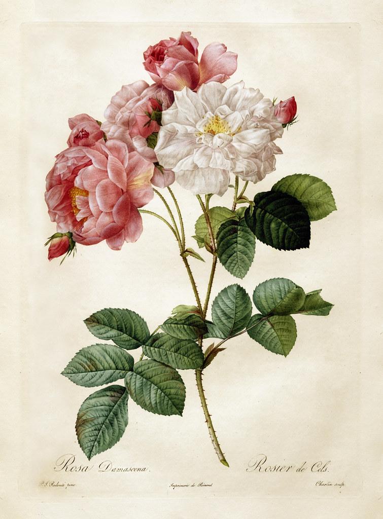 Pierre-Joseph Redouté Rosebush Rosa Damascena Les Roses Print 1 Poster Art 371