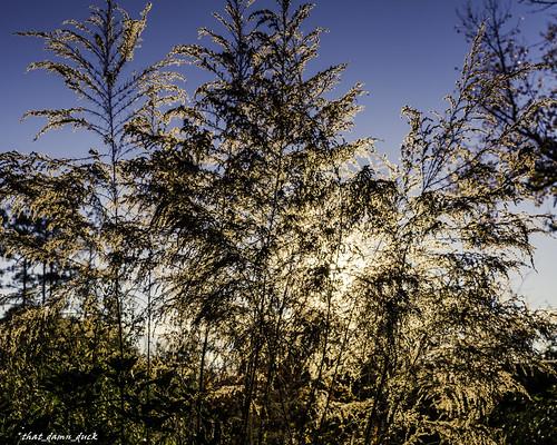 nature sunrise wheatgrass