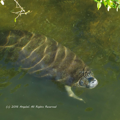 2016 january winter florida riverview manateeviewingcenter manatee portrait mammal seamammal fujifilmfinepixs8200