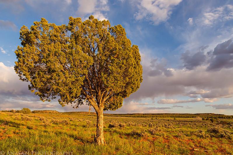Cedar Mesa Tree